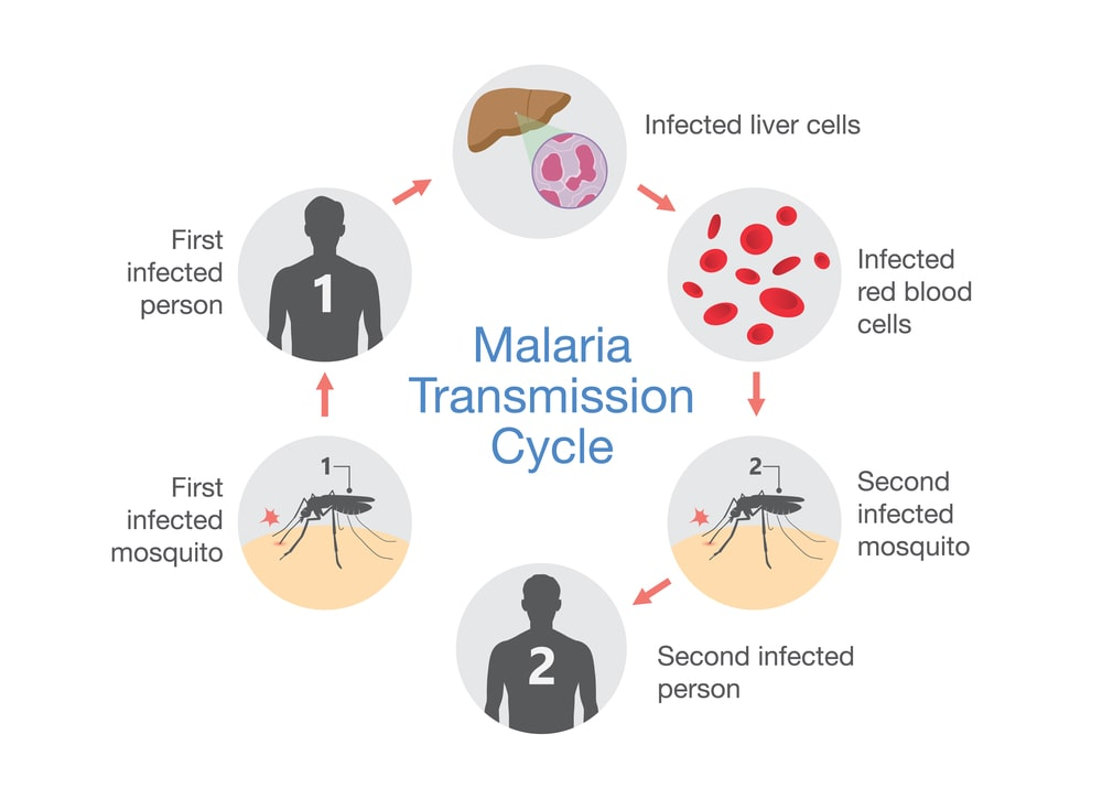 Malaria Transmission cycle